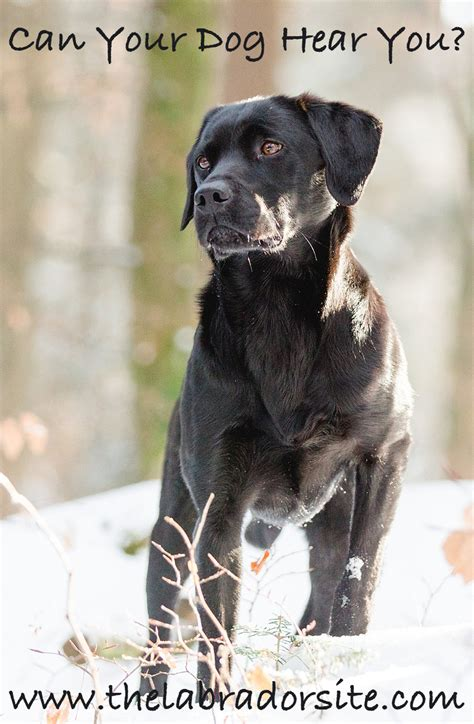can dogs tell if your deafness in dogs the labrador site