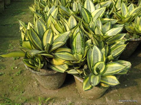 decorative plants with name in india decorative ornamental plants by kamal nursery india