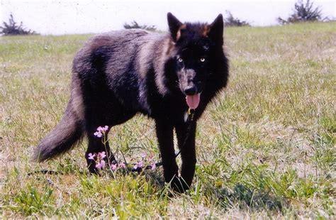 hybrid wolf wolf hybrid black www pixshark images galleries with a bite