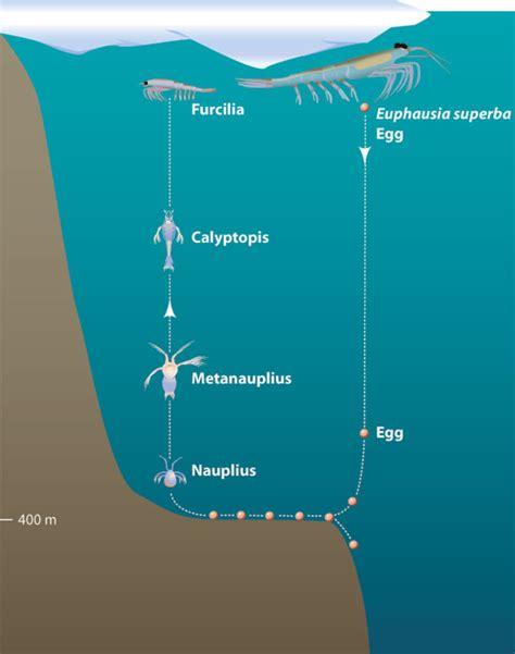 cadena alimenticia krill 191 por qu 233 el min 250 sculo krill es un importante eslab 243 n en la