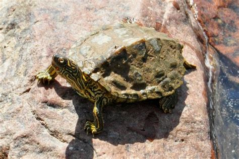texas map turtle texas map turtle graptemys versa