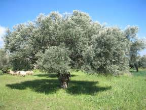 Olive Tree by Olive Tree Related Keywords Amp Suggestions Olive Tree
