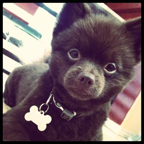 can i shave my pomeranian chocolate pomeranian doggie