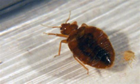 What A Bed Bug Looks Like by All About Bed Bugs