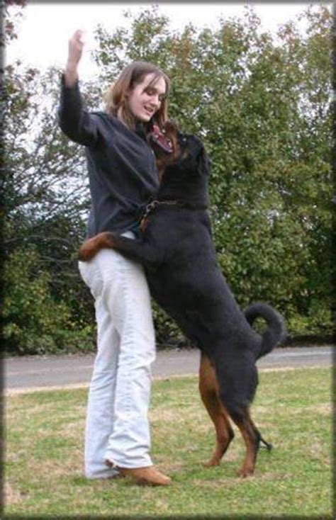 rottweiler exercise build who should own a rottweiler ruzich knows