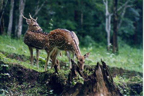 boat covers red deer file chital deer pair at nagarahole wildlife sanctuary jpg