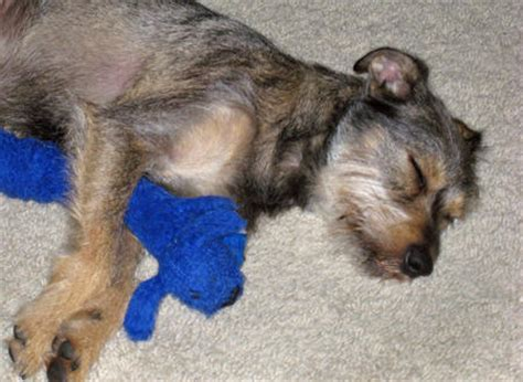 yorkie border terrier mix terrier and mini schnauzer mix breeds picture