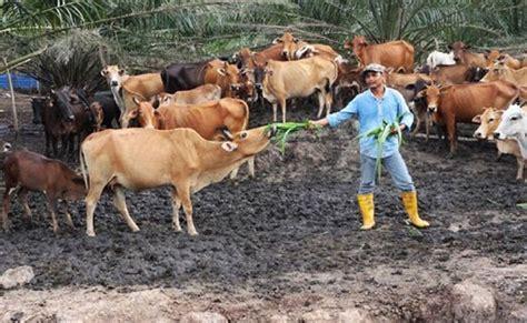 6 Profesi Jadi Jutawan belajar setakat darjah 6 bukan penghalang jadi jutawan penternak lembu aliff channel