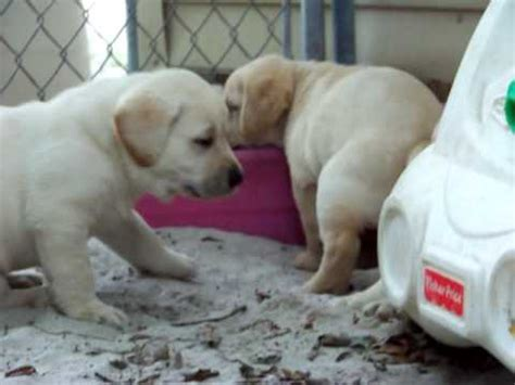 labrador puppies for sale in florida yellow labrador puppies for sale in florida