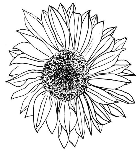 Outline Of Sunflower To Colour by Sunflower Drawing Sunflowers Drawings Sunflower Drawing And Search