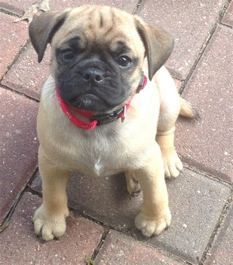 pug puppies available available dogs match animal rescue