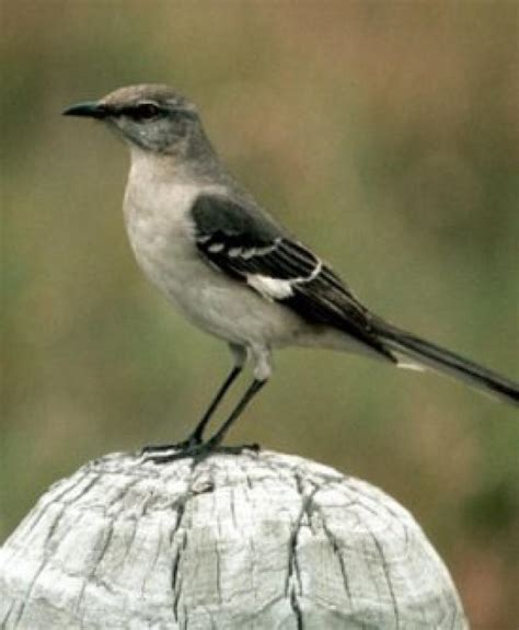 bird sounds and songs of the northern mockingbird the