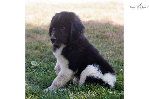 newfoundland puppies wisconsin newfoundland puppies for sale akc black newfoundland puppies for sale breeds picture