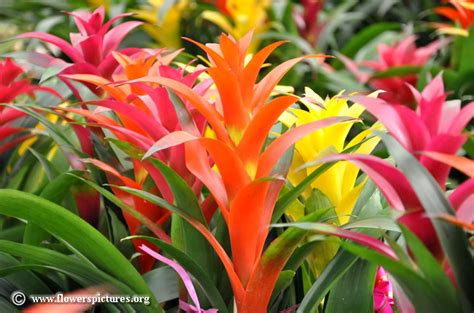 Bromelia De Luxe by Bromeliad Pictures Bromeliad Flower Pictures