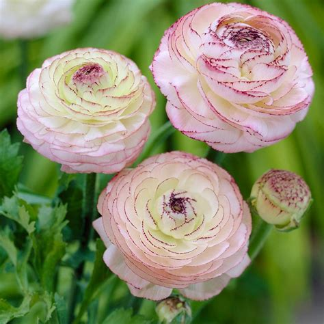 ranunculus bulbs zyverden butter cups ranunculus picotee bulbs pack of 25 11291 the home depot