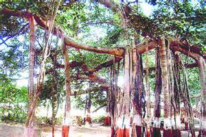 banyan tree bank state to chronicle heritage trees indian express