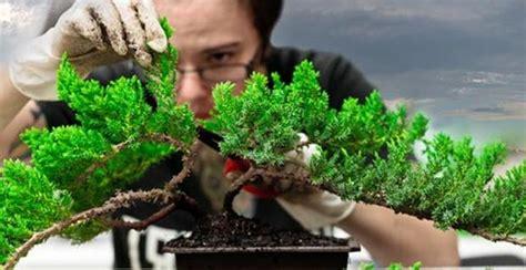Bakalan Bonsai Cemara Udang teknik cara menggali mengangkat dan menanam bakalan