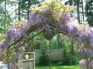 wisteria arbor in the garden