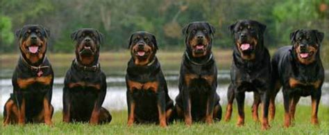 rottweiler obedience classes rottweiler attack www pixshark images galleries with a bite