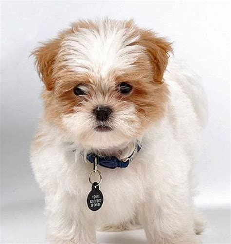 shih tzu maltese temperament best 25 shih tzu maltese mix ideas on maltese