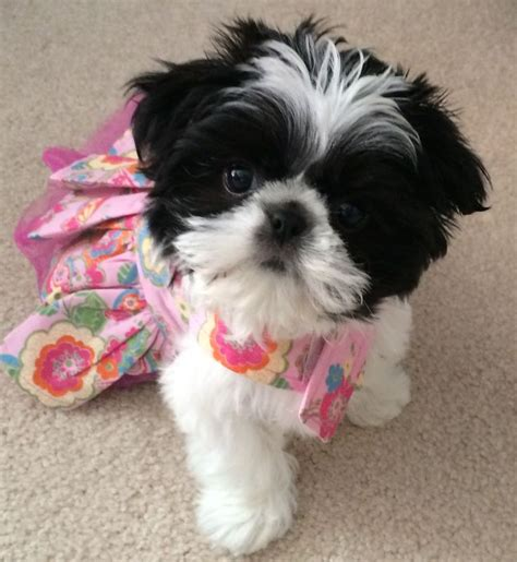 best toys for shih tzu 17 best ideas about shih tzu on shih tzu puppy shih tzu and shih tzu
