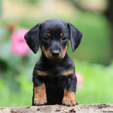 dachshund mix puppies for sale dachshund puppies for sale greenfield puppies