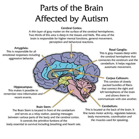 brain section functions pediaspeech parts of the brain affected by autism