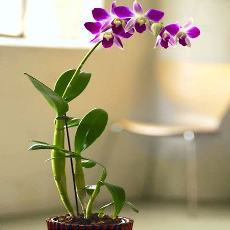 dendrobium orchid in bamboo planter walmartcom