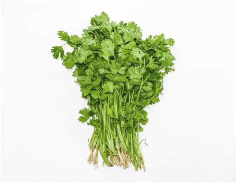 coriander cilantro cilantro one of mankind s most popular herbs