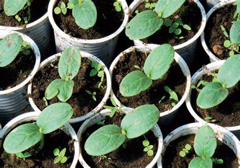 cetrioli in vaso giardinaggio coltivare cetrioli 232 facile
