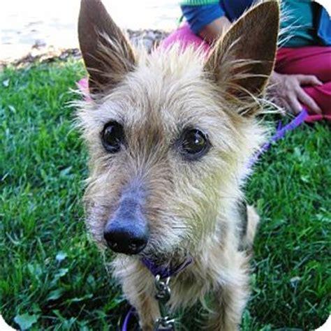 yorkie australian terrier mix adopted oshkosh wi australian terrier yorkie terrier mix