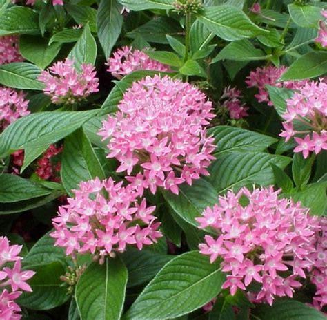 jual tanaman pink egyptian star cluster bibitbungacom