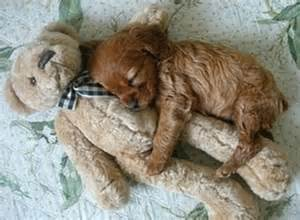 This brown puppy needs company while sleeping picture london media