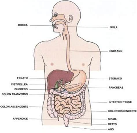 il corpo umano gli organi interni immagini corpo umano organi interni imagui
