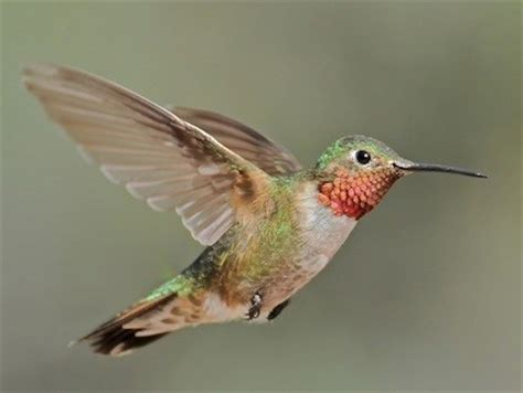 broad tailed hummingbird identification all about birds