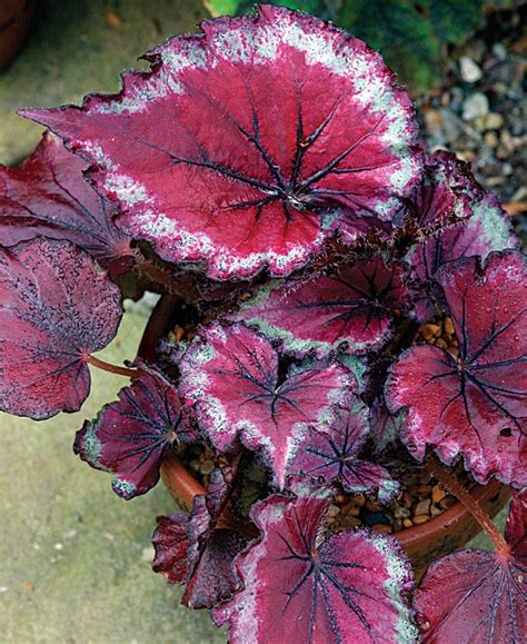 stained glass begonia coleus and begonia pinterest