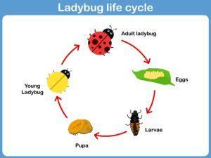 ladybug diagram 20 ladybug facts they didn t teach you in school pestwiki
