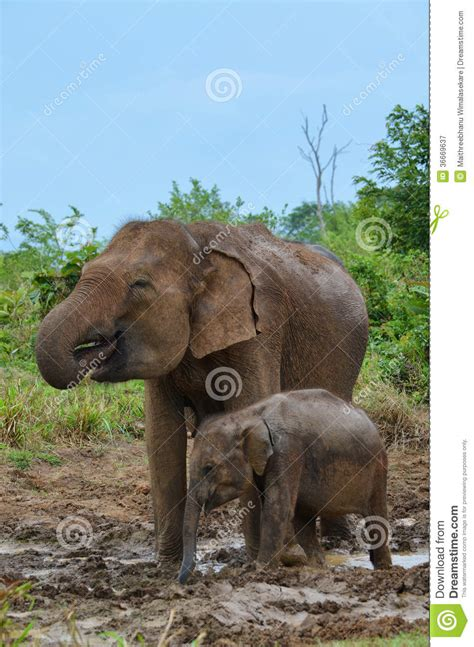 mother  baby elephant drinking water stock image