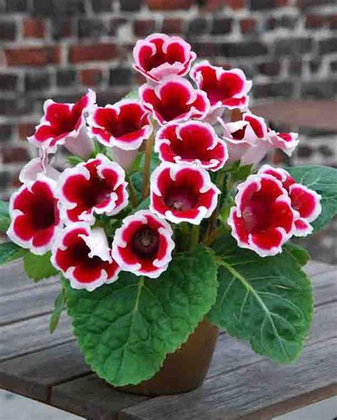 Pot Bunga Uk 40cm gloxinia kaiser friedrich tubers buy at farmer