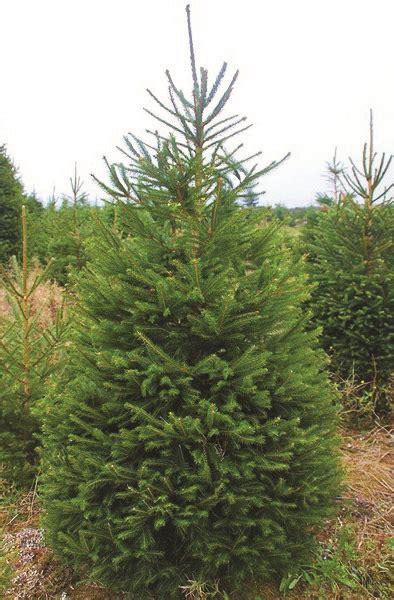 wholesale real quality fresh christmas trees nordmann
