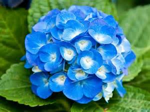 22 beautiful blue flowers pictures flower meanings