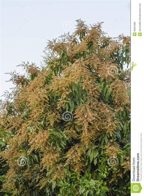 i giardini mago prezzi polline di fioritura dell albero di mango immagini stock