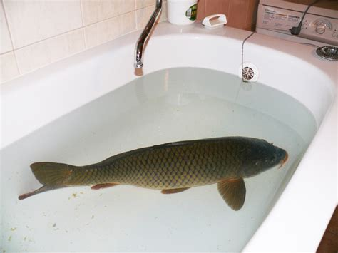 fish in bathtub news last white rhinos santa s salary christmas carp