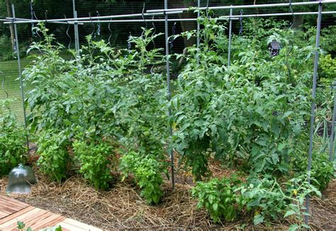 how to grow tomatoes grow bags or soil the garden of eaden
