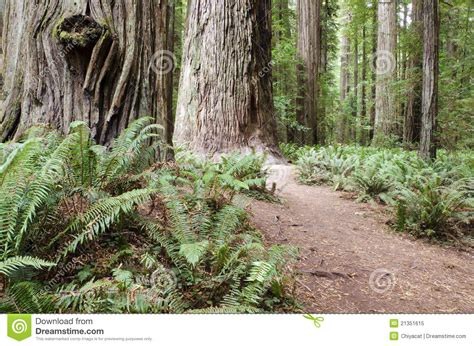 floor scale 10 1 2 w x 14 d inch 450kl redwood forest of california stock image image 21351615