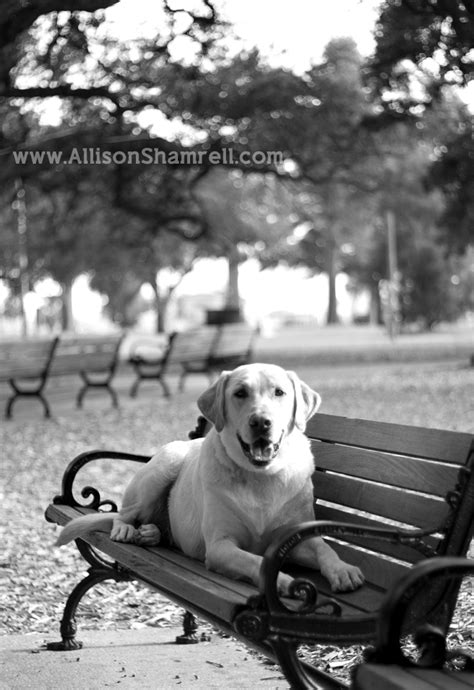 bench labrador retriever dogs n benches a collection of animals and pets ideas