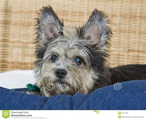 scruffy breeds scruffy royalty free stock images image 6727419