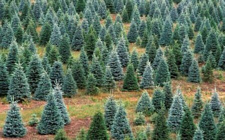 best christmas tree farms in nj 2015 guide