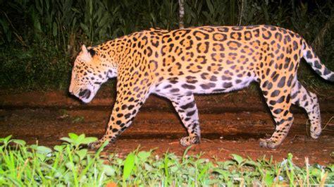 imagenes de jaguar energy tristeza un yaguaret 233 muri 243 atropellado en misiones tn