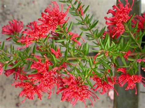 Flowering Shrub Shade - grevillea new blood grevillea gardening with angus